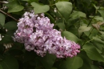 Lilac bush that is very very old